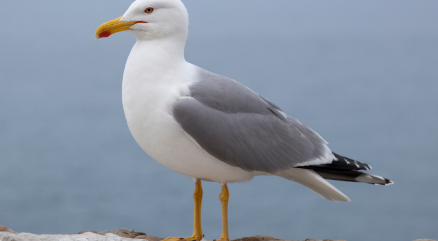Today's Island Tip: Seagulls